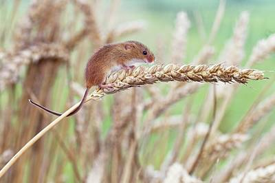 Harvest Mouse On Wheat Poster by John Devries