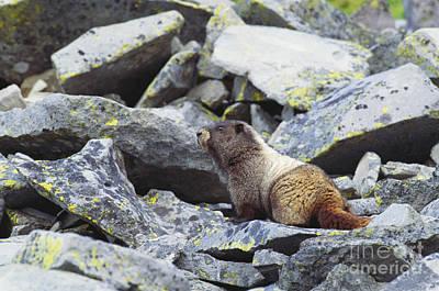 Hoary Marmot Poster by Art Wolfe