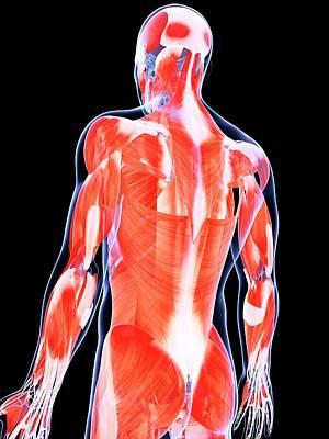 Human Back Muscles Poster by Sebastian Kaulitzki