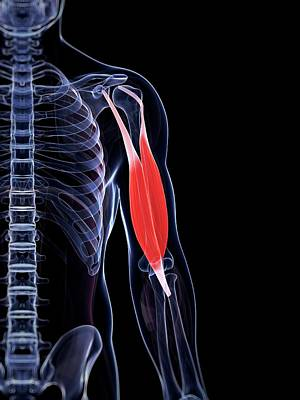 Human Biceps Poster