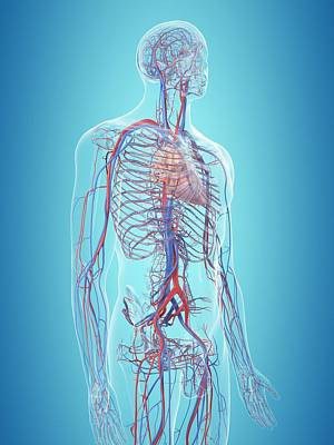Human Cardiovascular System Poster by Sciepro