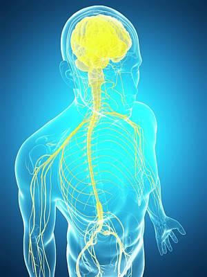 Human Nervous System And Brain Poster by Sebastian Kaulitzki