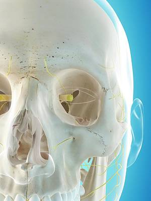 Human Nervous System Poster