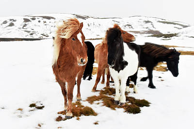 Icelandic Horses Poster by Dr P. Marazzi