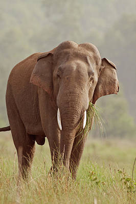 Indian Asian Elephant (tusker Poster by Jagdeep Rajput