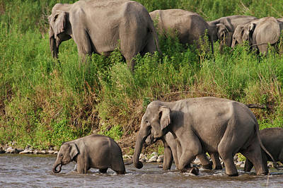 Indian Asian Elephants, Crossing Poster