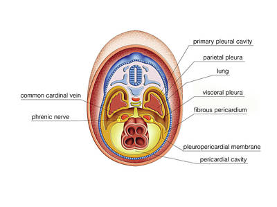 Intra-embryonic Cavities Poster by Asklepios Medical Atlas