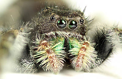 Jumping Spider Poster by Paul Fell