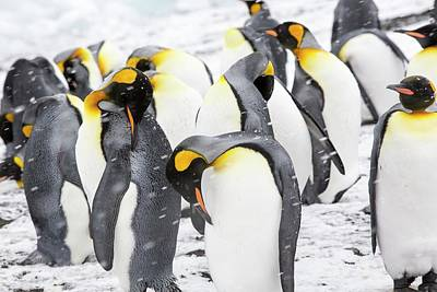 King Penguins On The Beach Poster by Ashley Cooper