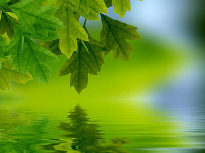 Leaves Reflecting In Water Poster