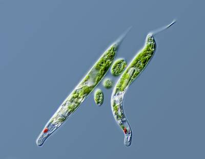 Lepocinclis Protists Poster by Gerd Guenther