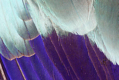 Lilac Breasted Roller Feathers Pattern Poster by Darrell Gulin