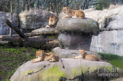 Lion Family Poster by Mandy Judson