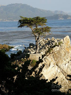 Lone Cypress Poster by Bev Conover
