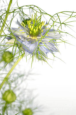 Love In The Mist Flower Nigella Sp Poster by Lawrence Lawry