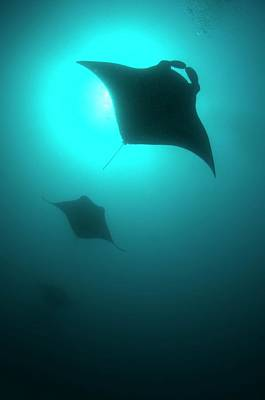 Manta Rays In The Maldives Poster by Scubazoo
