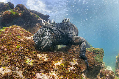 Marine Iguana Feeding On Algae Punta Poster by Tui De Roy