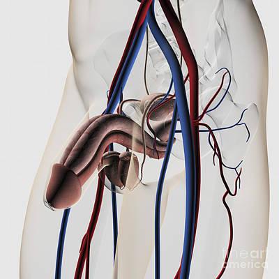 Medical Illustration Of Male Poster by Stocktrek Images