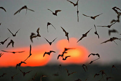 Mexican Free-tailed Bats (tadarida Poster by Larry Ditto