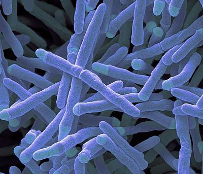 Mycobacterium Smegmatis Bacteria Poster by Steve Gschmeissner