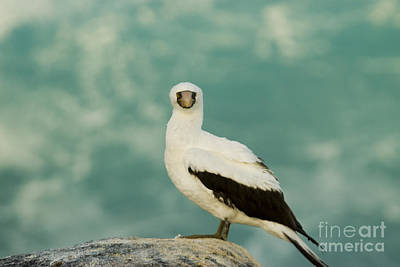 Nazca Booby Poster by William H. Mullins