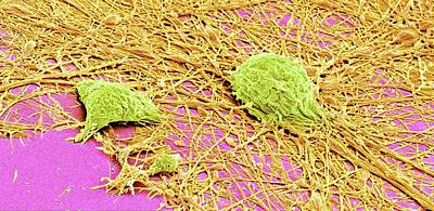 Nervous System Cells Poster by Susumu Nishinaga