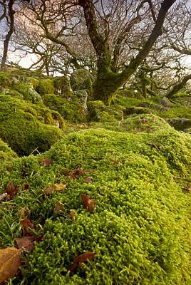 Oak Woodland On Dartmoor Poster
