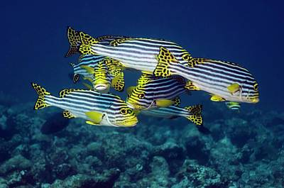 Oriental Sweetlips Fish Poster