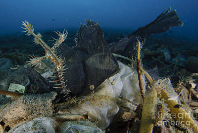 Ornate Ghost Pipefish Amongst Debris Poster by Steve Jones