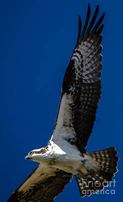 Poster featuring the photograph Osprey In Flight by Dale Powell
