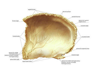 Parietal Bone Poster by Asklepios Medical Atlas