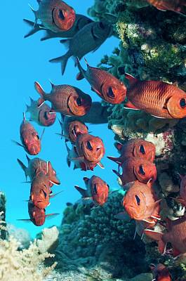 Pinecone Soldierfish Poster by Georgette Douwma