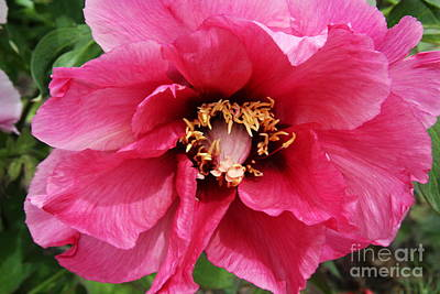 Pink Peony Poster by Christiane Schulze Art And Photography