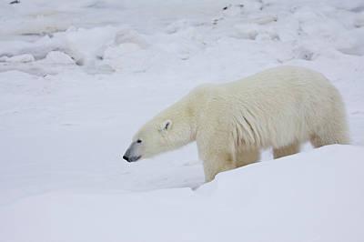 Polar Bear Ursus Maritimus Walking Poster by Panoramic Images