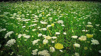 Queen Annes Lace Poster by Carol Toepke
