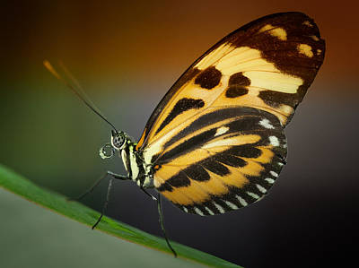 Poster featuring the photograph Resting Butterfly by Zoe Ferrie
