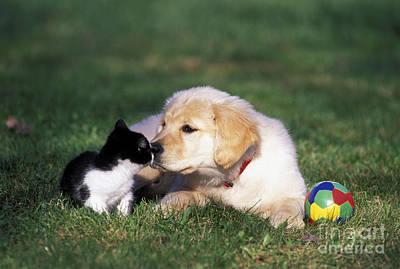 Retriever Puppy & Kitten Poster by Rolf Kopfle