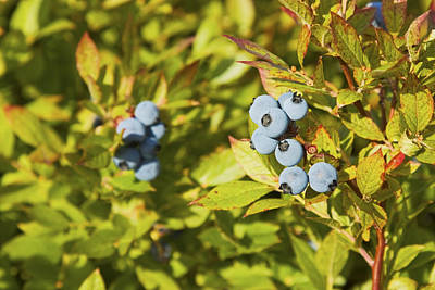 Ripe Maine Low Bush Wild Blueberries Poster by Keith Webber Jr