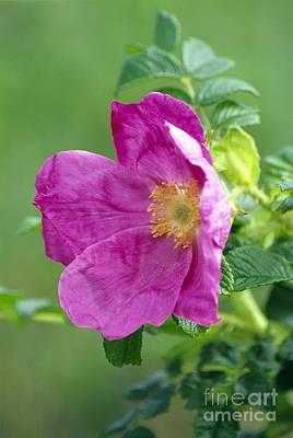 Salt Spray Rose Flower Rosa Rugosa Poster