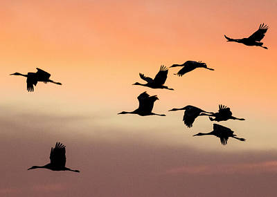 Sandhill Cranes Flying At Sunset Poster