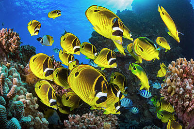 Schooling Raccoon Butterflyfish Poster by Dave Fleetham