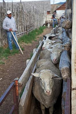 Sheep Farming Poster by Jim West