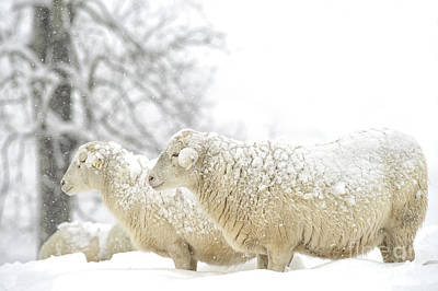 Sheep In Snow Poster by Thomas R Fletcher