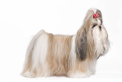 Shih Tzu With Bow Poster by Jean-Michel Labat