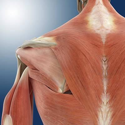 Shoulder And Back Anatomy Poster