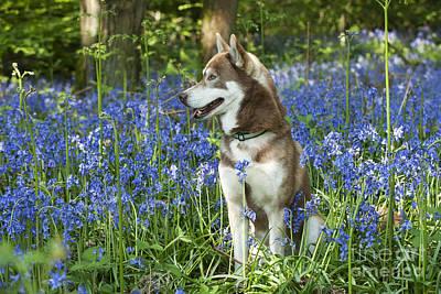 Siberian Husky In Bluebells Poster