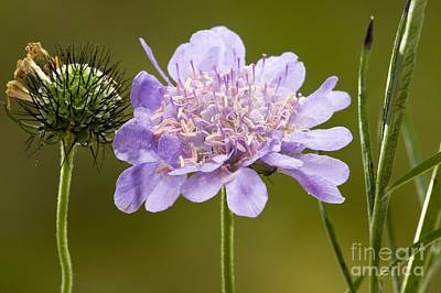 Small Scabious Scabiosa Columbaria Poster by Bob Gibbons