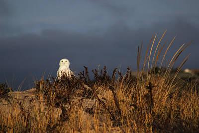 Snowy Owl Hampton Bays New York Poster by Bob Savage