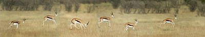 Springbok Antidorcas Marsupialis Poster by Panoramic Images