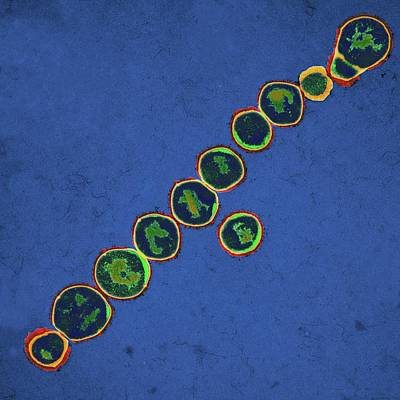 Streptococcus Pyogenes Bacteria Poster